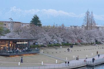 富岩運河環水公園の桜(2)