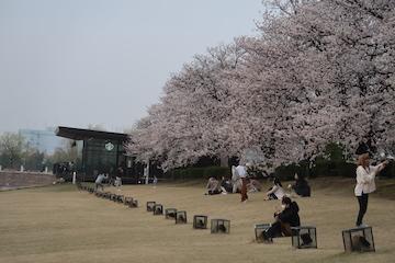富岩運河環水公園の桜(3)