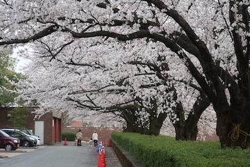 富岩運河環水公園の桜(4)