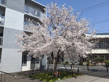 ひとり佇む桜の木