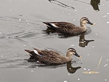 調整池の鴨(2)