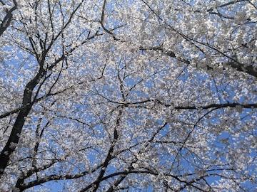 風雨の後の桜