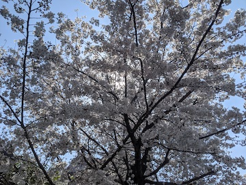 旧甲州街道沿いの桜