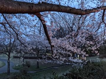 街灯のない桜並木