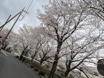 と或る地方の桜並木